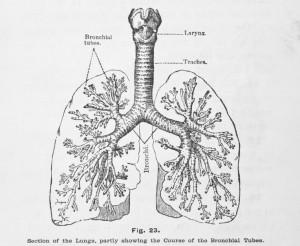 Zeichung-der-Lunge